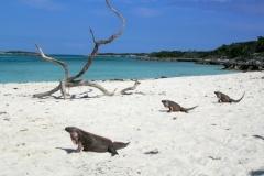 Leaf Cay Lizards Bahamas 4656 © Ann DeMuth