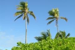 Hopetown Palms  4462 © Ann DeMuth