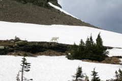 4001 hidden lk mtn goat Glacier Nat. Pk © Ann DeMuth