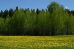 British Columbia Ranch Land 2829 yellow wildflowers © Ann DeMuth