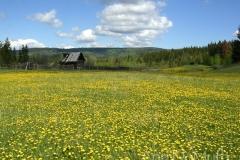 British Columbia Ranch Cabin 2833 yellow wildflowers © Ann DeMuth