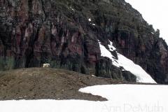 3979 mtn goat glacier nat pk © Ann DeMuth