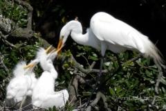 Egret hatchlings feeding 150 © Ann DeMuth