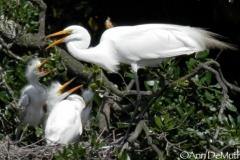 Egret hatchlings feeding 155 © Ann DeMuth