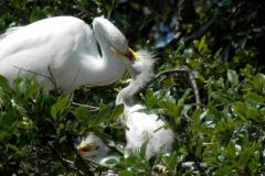 Egret feeding young 134 © Ann DeMuth
