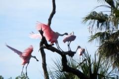 Roseate Spoonbills 140 © Ann DeMuth