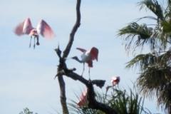 Roseate Spoonbills 142 © Ann DeMuth