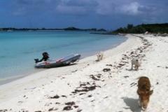 big majors spot 4955 pigs bahamas © Ann DeMuth