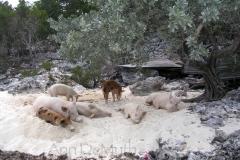 big majors spot 4964 pigs bahamas © Ann DeMuth