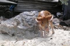 big majors spot 4970 pigs bahamas © Ann DeMuth