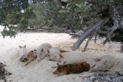 big majors spot 4978 pigs bahamas © Ann DeMuth