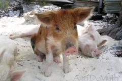 big majors spot 4981 pigs bahamas © Ann DeMuth