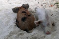 big majors spot 4987 pigs bahamas © Ann DeMuth