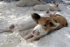 big majors spot 4988 pigs bahamas © Ann DeMuth