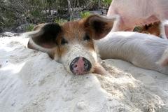big majors spot 4992  pigs bahamas © Ann DeMuth