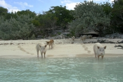 big majors spot 5004 pigs bahamas © Ann DeMuth