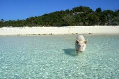 big majors spot 5011 pigs bahamas © Ann DeMuth