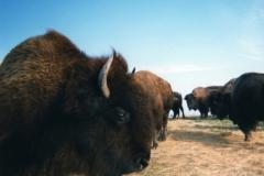 bison shelburne vt © Ann DeMuth