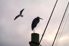 Great Blue Heron 0019 © Ann DeMuth