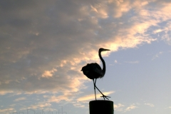 Great Blue Heron 5696 St. Augustine FL © Ann DeMuth