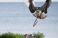 osprey nestbuilding 142 © Ann DeMuth