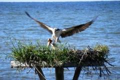 Osprey Nest Young 140091 Chesapeake Bay © Ann DeMuth