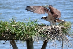 Osprey Nest Young 150160 Chesapeake Bay © Ann DeMuth