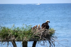 osprey and young in nest watching motorboat 15029 © Ann DeMuth