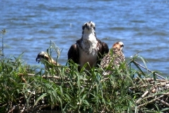 osprey and young in nest 164 © Ann DeMuth