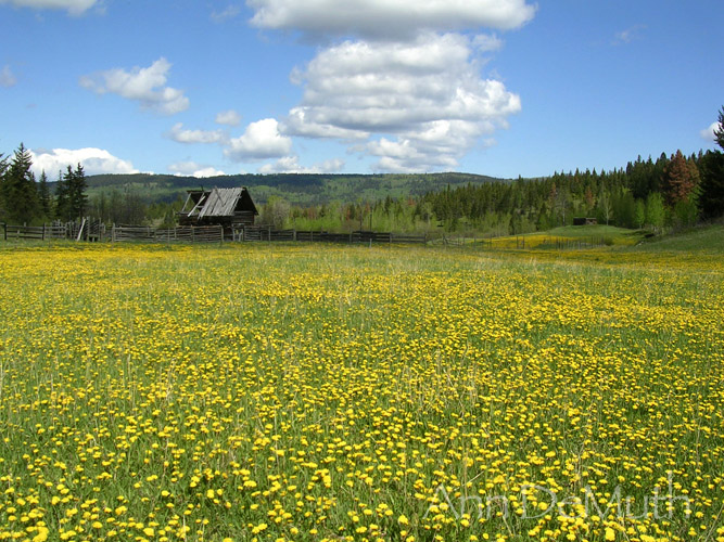 British Columbia field with yellow wildflowers ©Ann DeMuth