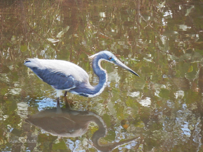 Tricolored Heron Merritt Island National Refuge ©Ann DeMuth